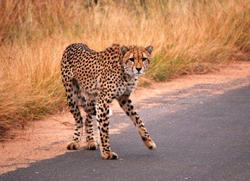 Kruger Cheetah on road