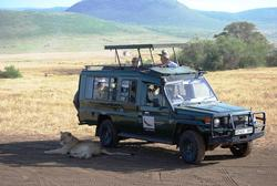 Ngorongoro Lion Next to car