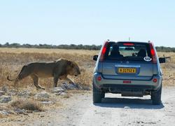 Etosha Gemsbokvlakte Lion next to car