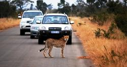 KNP Cheetah on road